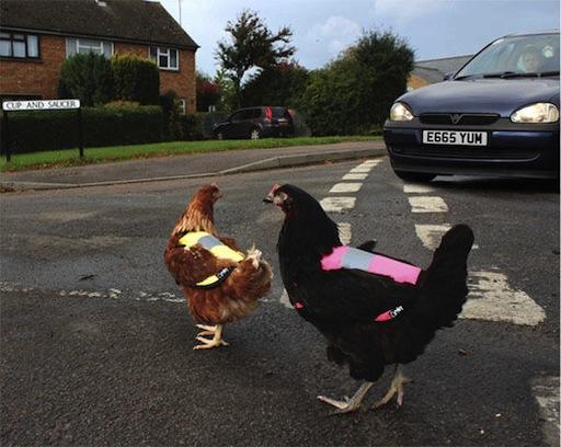 As galiñas en semiliberdade terán que usar chalecoreflectante